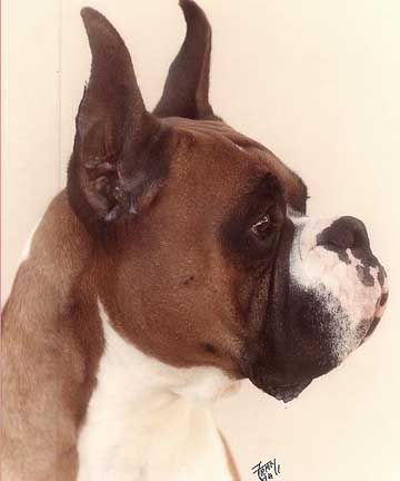 Telstar Boxers-Offering stud services producing champion quality dogs and proven pedigrees